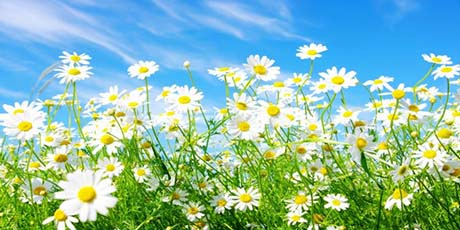 SPRING_DAISIES_RESIZE